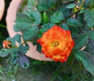 A Rose Flower and green leaf. This is a Rose flower on garden.  Some Red some green and some yellow stock photography