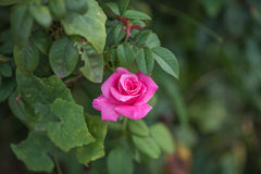 Rose flower on green leaves background. Stock Photo