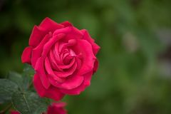 Rose Flower. On the green nature background. Garden flower scene stock photo