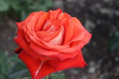 Flower of the Rose. Rose flower growing in the park Royalty Free Stock Photos
