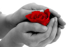 Rose flower in hand on white background Stock Photo