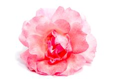 Rose flower head isolated on white background Stock Images