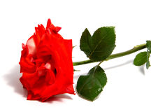 Rose flower head isolated on white background , Stock Photos