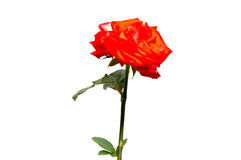 Rose flower head isolated on white background , Stock Photography
