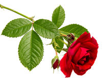 Rose flower head isolated on white background , Royalty Free Stock Image