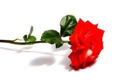 Rose flower head isolated on white background , Stock Image