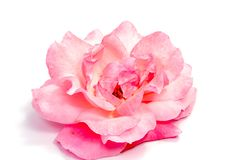 Rose flower head isolated on white background Royalty Free Stock Photography