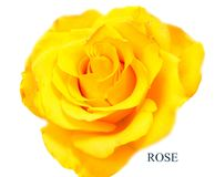Rose flower head isolated on white background Royalty Free Stock Image
