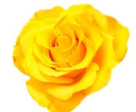 Rose flower head isolated on white background Royalty Free Stock Images
