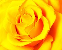 Rose flower head isolated on white background Royalty Free Stock Photo