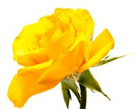 Rose flower head isolated on white background Stock Image