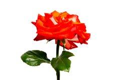 Rose flower head isolated on white background , Stock Photo