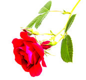 Rose flower head isolated on white background Stock Photography