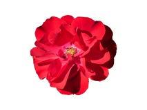 Rose Flower Isolated hermosa Imagen de archivo libre de regalías