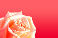 Rose flower  with dove or water drops Stock Image