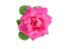 Rose flower isolated. Pink rose flower isolated. on white background Royalty Free Stock Photography