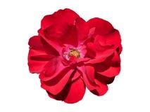 Rose Flower Isolated romántica Imágenes de archivo libres de regalías