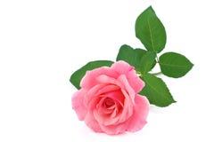 Rose flower isolated on white Stock Photo