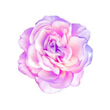 Rose Flower isolated on white background Royalty Free Stock Images