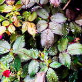 Rose flower leaves after the rain Royalty Free Stock Images