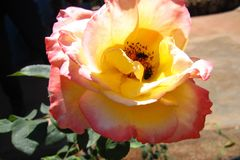 Rose flower with light pink with insects Stock Photo