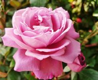 Rose. Flower lilac nature love Stock Photos