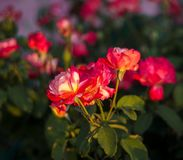 Rose flower lit by the rays of the sun stock images