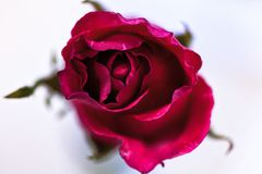 Rose flower of love. In valentine day Stock Photos