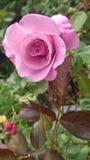 Rose. Flower love valentines background tree stock image