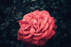 Rose flower macro royalty free stock photography