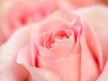 Rose flower macro Backgrounds. Rose flower macro selective focus Backgrounds royalty free stock photography