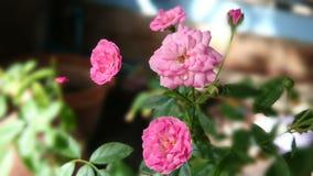Rose. Flower mini home pink stock photos