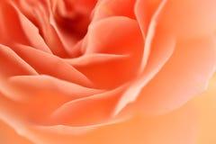 Rose Flower mit flacher Schärfentiefe und Weichzeichnung Lizenzfreie Stockfotos