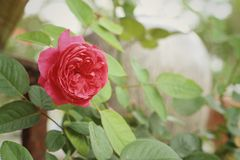 Rose flower in a nature at the garden Royalty Free Stock Photography