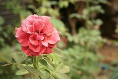 Rose flower in a nature at the garden Royalty Free Stock Photos