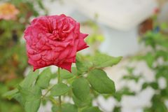Rose flower in a nature at the garden Stock Photos