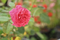 Rose flower in a nature at the garden Stock Image