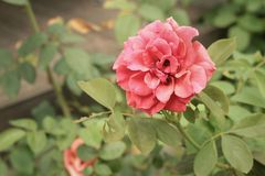 Rose flower in a nature at the garden Royalty Free Stock Image