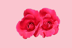 Rose flower nature pink background closeup plant Royalty Free Stock Image