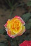 Rose Flower op installaties Royalty-vrije Stock Afbeeldingen