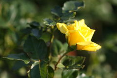 Rose flower outdoors Royalty Free Stock Photos
