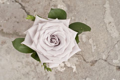 Rose flower over grunge background Royalty Free Stock Images