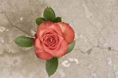 Rose flower over grunge background Royalty Free Stock Image