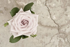 Rose flower over grunge background Royalty Free Stock Photo