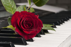 Rose flower over piano keyboard. Stock Photo