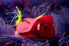 Rose flower over soft feather purple background Royalty Free Stock Photos