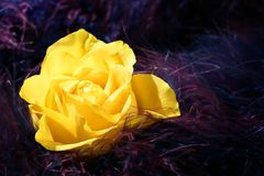 Rose flower over soft feather purple background Stock Photos