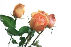 Rose flower. Stock Image