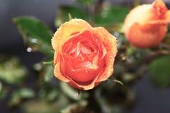 Rose flower. Stock Photo