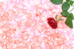 Rose flower and petals Royalty Free Stock Image